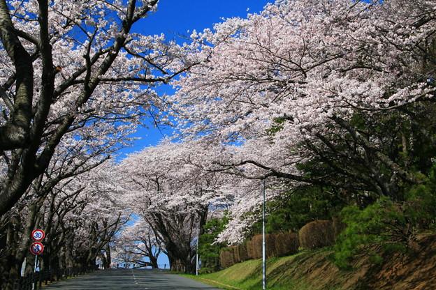 Photos: 904 日立研究所の桜並木