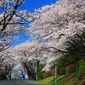 920 日立研究所の桜並木