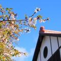 340 共楽館の四季桜
