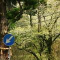 377 本山の桜並木