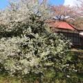342 日鉱斯道館の桜