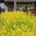 Photos: 468 36号線の菜の花