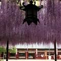 Photos: 笠間稲荷の大藤