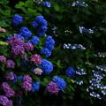 184 鵜の岬の紫陽花