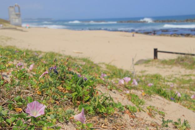 Photos: 167 伊師浜のハマヒルガオ