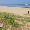 Photos: 179 伊師浜のハマヒルガオ