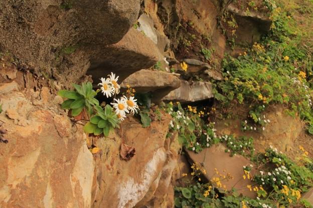 Photos: 268 岸壁のハマギク 日立市