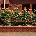 913 アンネのバラ