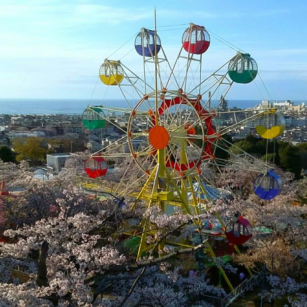 081 かみね公園の桜