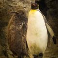 オウサマペンギン3