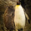 オウサマペンギン4