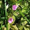 写真: イモカタバミの花の葯は黄色♪