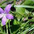 写真: ヒナキキョウソウの花と種子♪