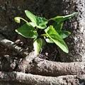 写真: 古木の根元にすみれの蕾
