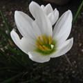 写真: タマスダレの花(1)