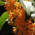 良い香りの金木犀の花♪