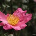 写真: 山茶花の花♪