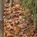 カサコソ♪ユリノキの落ち葉です。