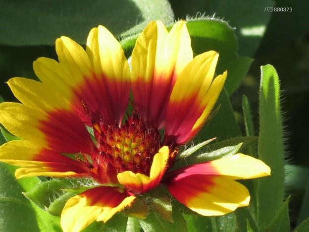 ガザニアの花♪