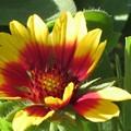 写真: ガザニアの花♪
