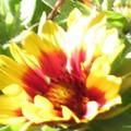 光り輝くガザニアの花♪