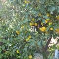 写真: 鈴なりの柚子の実♪