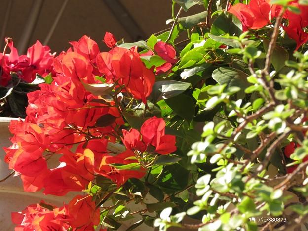 お花がいっぱい!ブーゲンビリア♪