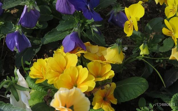 花壇のプリムラとビオラです♪