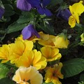 Photos: 花壇のプリムラとビオラです♪