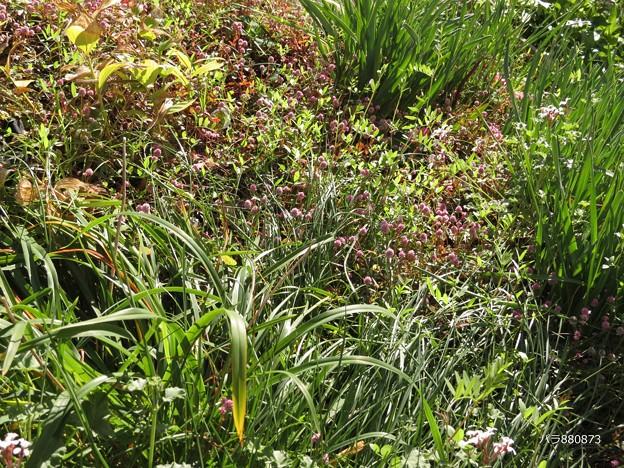 草叢に咲くヒメツルソバ♪