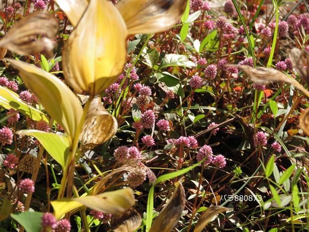 草叢で自然なヒメツルソバ♪