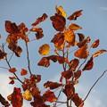 青空と枯葉も光るユリノキ♪