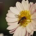 ピンク色の八重の小菊にキタヒメヒラタアブ♪