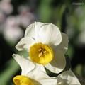 シベがきれいな日本水仙の花♪