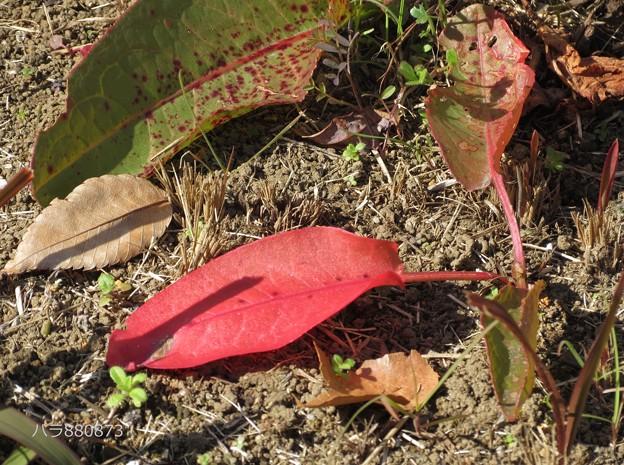 Photos: スカンポの草紅葉♪