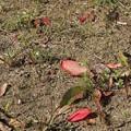 冬枯れの野に赤い葉が♪