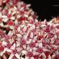 Photos: 金のなる木の花が満開でした♪