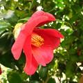 Photos: 椿の花♪