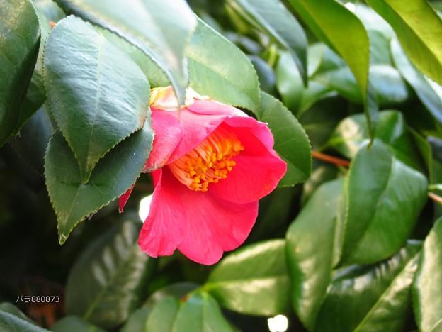 藪椿の花♪