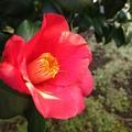 Photos: 赤い椿♪