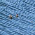 Photos: 水面(みなも)と水鳥♪