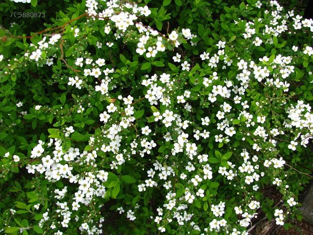乱れ咲きの雪柳のお花♪