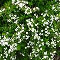 Photos: 乱れ咲きの雪柳のお花♪