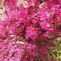 Photos: 春風になびくベニバナトキワマンサク♪