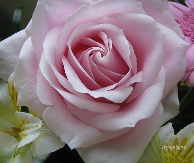 癒される薔薇♪