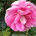 Photos: 大きな薔薇の花♪