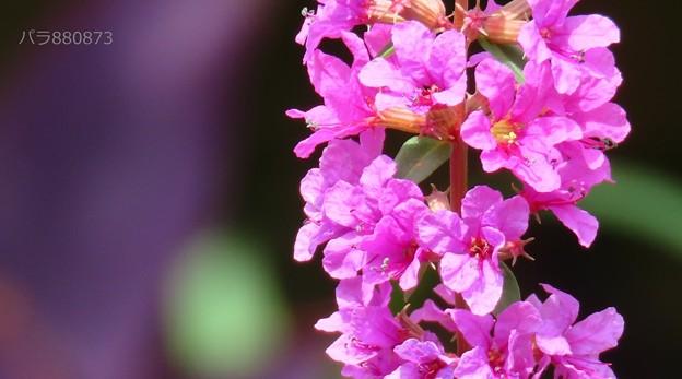 ミソハギの花♪