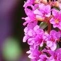 Photos: ミソハギの花♪