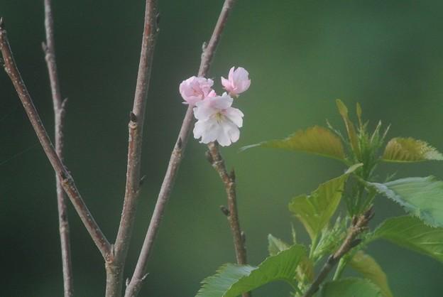 まだ少し咲いてる陽光桜