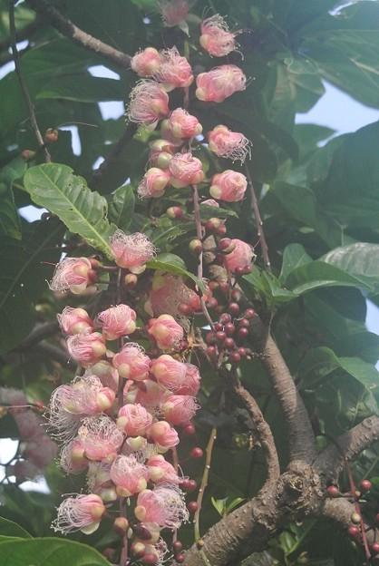 ピンク種のサガリバナ